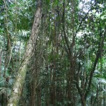 Banyan Tree Curtain Roots