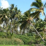 Coconut Grove in Yabucoa